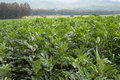 Plants luxuriant in field of broad beans Royalty Free Stock Image