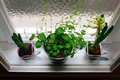 Plants in Pots Royalty Free Stock Photo