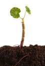 Plants roots soil white font plant root Stock Images