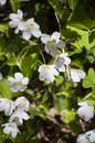 Plants in spring- closeup of white blossoms with fresh green leaves of Wood-sorrel in sunlight Royalty Free Stock Photo