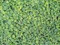 Herbal plants in sri lanka Udupiyaliya