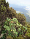 Plants in the virunga mountains some uganda africa Royalty Free Stock Photography
