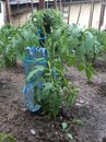 Plastic bottle irrigation used used for tomato plant Royalty Free Stock Photos