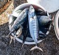 Plastic bucket of fish caught by fisherman. Royalty Free Stock Photo