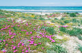 Platamona beach in spring pink flowers on a day Stock Images
