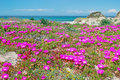 Platamona in springtime pink fowers by beach sardinia Royalty Free Stock Images