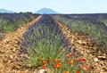 Plateau de valensole provence lavender alpes haute alpes cote d azur france field of Stock Photos