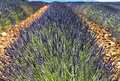 Plateau de valensole provence lavender alpes haute alpes cote d azur france field of Royalty Free Stock Photo