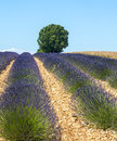 Plateau de valensole provence lavender alpes haute alpes cote d azur france field of and lonely tree Royalty Free Stock Photography