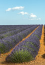 Plateau de valensole provence lavender alpes haute alpes cote d azur france fields of Stock Photos
