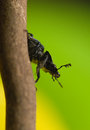 Platycerus caraboides Royalty Free Stock Photos