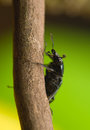 Platycerus caraboides Stock Photography