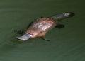 逃避澳大利亚鸭似的platypus,昆士兰 库存照片