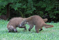 Play Fighting Coatis Stock Image