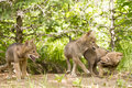 Play time three young coyote pups playing by their den in springtime Royalty Free Stock Photography