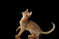 Playful abyssinian kitten looking up isolated on black background side view Royalty Free Stock Images