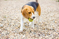 Playful beagle catching a ball Royalty Free Stock Photo
