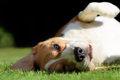 Playful beagle dog laying on grass lawn down in sunshine Royalty Free Stock Photos