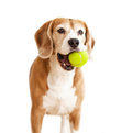 Playful beagle dog with tennis ball portrait isolated on white Royalty Free Stock Photo