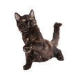 Playful black and tan domestic longhair kitten a four month old batting paw into the air Stock Images