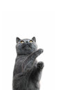 Playful British shorthair cat Stock Images