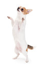 Playful chihuahua standing upright looking up isolated on white background Stock Photo