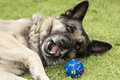 Playful dog big shepherd inviting to play a ball outdoor shot Royalty Free Stock Photography