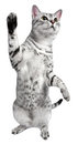 Playful Egyptian Mau Cat Stock Photos
