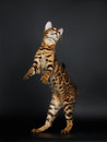Playful Female Bengal Cat stands on Rear Legs Royalty Free Stock Photo