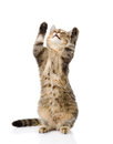 Playful funny tabby cat standing on hind legs isolated on white Stock Photography