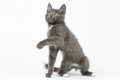 Playful gray kitty raising paw and looking up on white background Stock Images