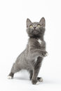 Playful gray kitty raising paw and looking up on white background Stock Image