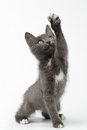 Playful gray kitty raising paw and looking up on white background Royalty Free Stock Photos