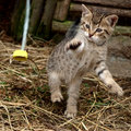 Playful kitten Royalty Free Stock Photography