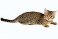 Playful kitten. Stock Photography