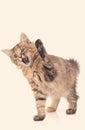 Playful kitten cat Royalty Free Stock Photo