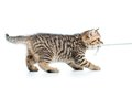 Playful kitten cat pulls cord isolated Royalty Free Stock Photo