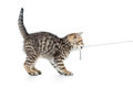Playful kitten cat pulls cord on white Stock Image