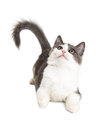 Playful Kitten Laying Looking Up Royalty Free Stock Photo