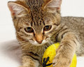 Playful kitten striped plays on a white background Stock Image