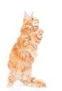 Playful maine coon cat standing on hind legs. isolated on white Royalty Free Stock Photo