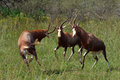 Playful males blesbuck playing in nature reserve Stock Photos