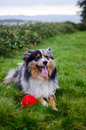 Playful miniature Australian shepard Royalty Free Stock Photo
