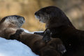 Playful otters two sea playing in the snow Royalty Free Stock Image
