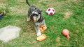 Playful Schnauzer Royalty Free Stock Photo