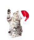 Playful Scottish Kitten In Red...