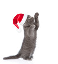Playful scottish shorthair kitten in red christmas hat standing on hind legs. isolated on white background Royalty Free Stock Photo