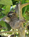 Playful three toe sloth sitting in tree,costa rica Stock Photos