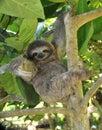 Giocoso bradipo seduta albero
