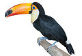 Playful toucan Royalty Free Stock Photos